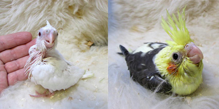 オカメスーパーホワイトパイド.jpg