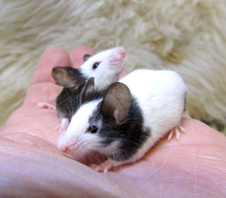 パンダマウス.jpg