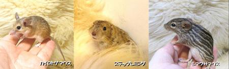 マウス3種1.JPG