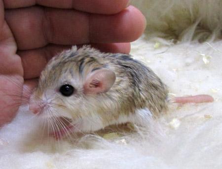 マカロニマウス.jpg