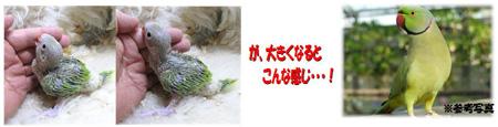ワカケホンセイインコWB用.JPG