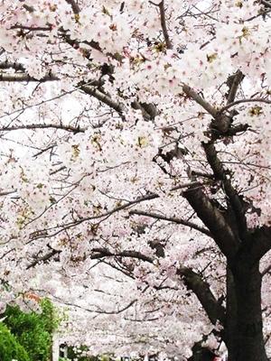 桜画像2.jpg