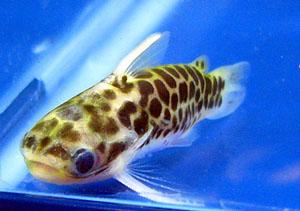 goldenleopaws2010.jpg