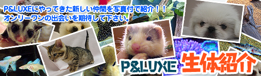 P&LUXEにやってきた新しい仲間を写真付きで紹介!!オンリーワンの出会いを期待して下さい。P&LUXE生体紹介