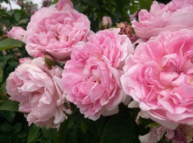 roze-1.jpg